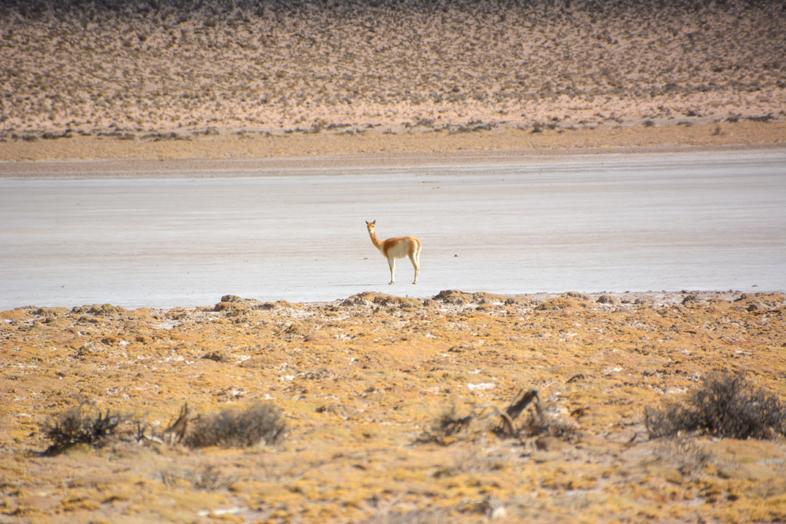 Antofagasta de la Sierra Catamarca Belen Argentine vicuna dans lagune assechee