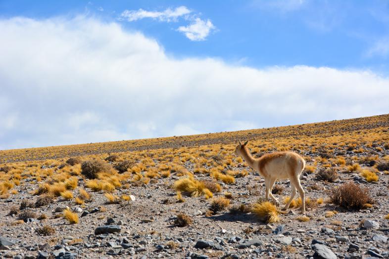 Antofagasta de la Sierra Catamarca Belen Argentine vicuna plantes seches desert