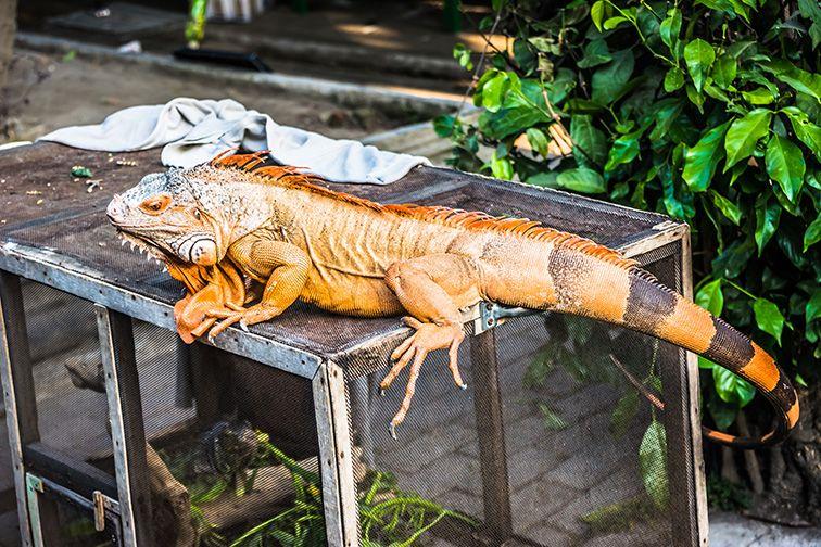 Iguane au marché de Yogyakarta