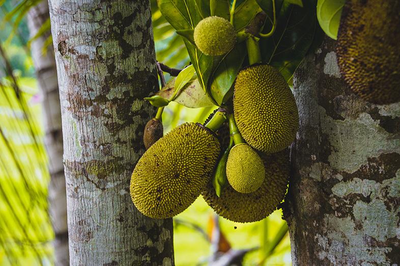 Pomme de jaque sur un jacquier, un fruit comestible en Indonésie