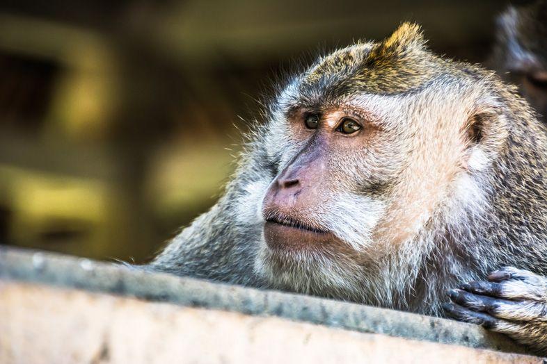 singe monkey forest de pres