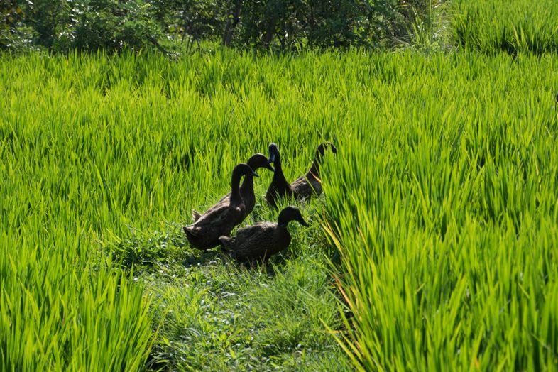 Canards sauvages qui se baladent entre les rizières