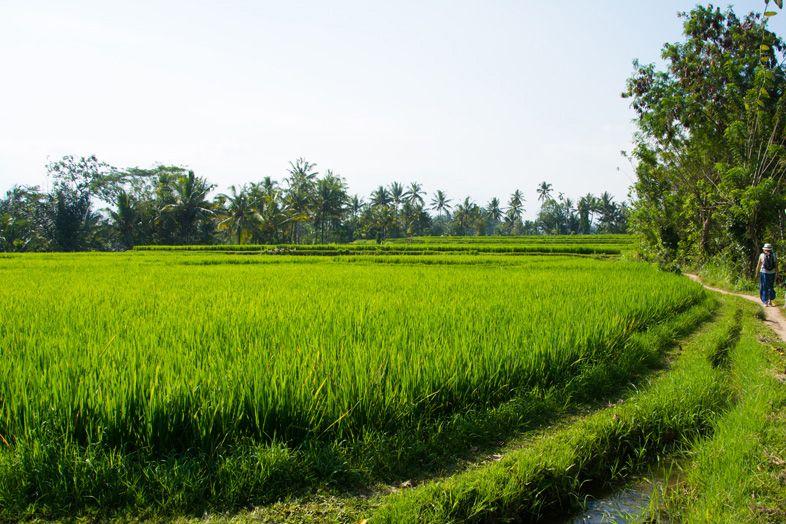 Chemin pour découvrir les rizières de Ubud