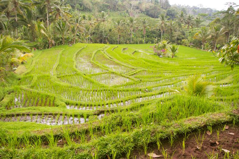 rizieres-de-jatiluwih-bali-petites-riz