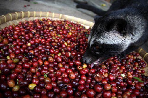 Luwak mangeant des grains de café kopi luwak