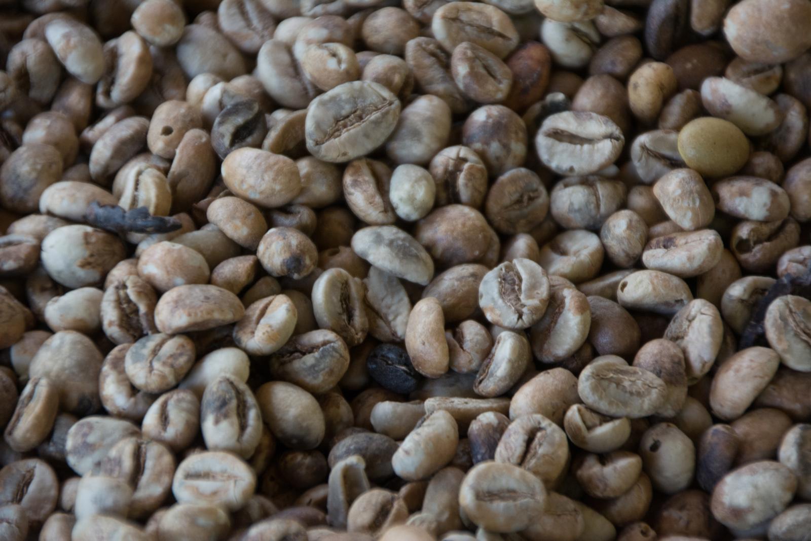 """Grains de café """"kopi luwak"""" avant décortication"""
