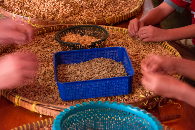 """Grains de café """"kopi luwak"""" décortiqués à la main"""