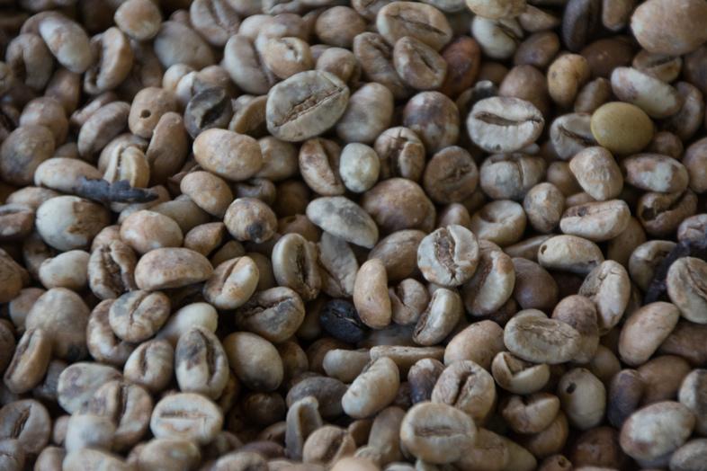 Graine de café Kopi Luwak Indonésie. Le café le plus cher du monde