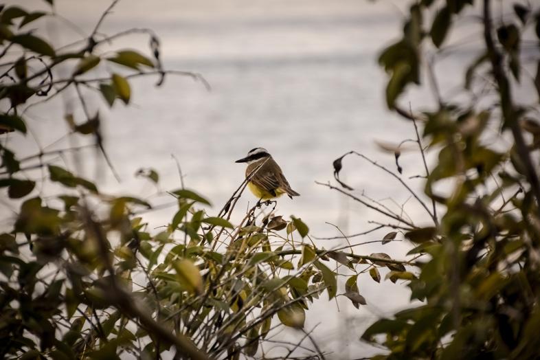 tyran quiquiviou pitangus sulphuratus dans la reserve ecologique de Buenos Aires reserva ecologica costanera sur