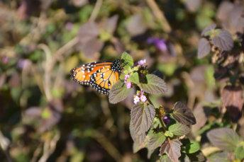 Esteros del Ibera Argentine Carlos Pellegrini mariposa papillion