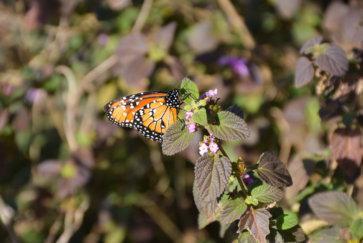 El Estero del Ibera Argentine Carlos Pellegrini mariposa papillion