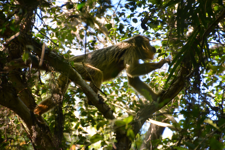 El Estero del Ibera Argentine Carlos Pellegrini singe hurleur mono caraya deplace