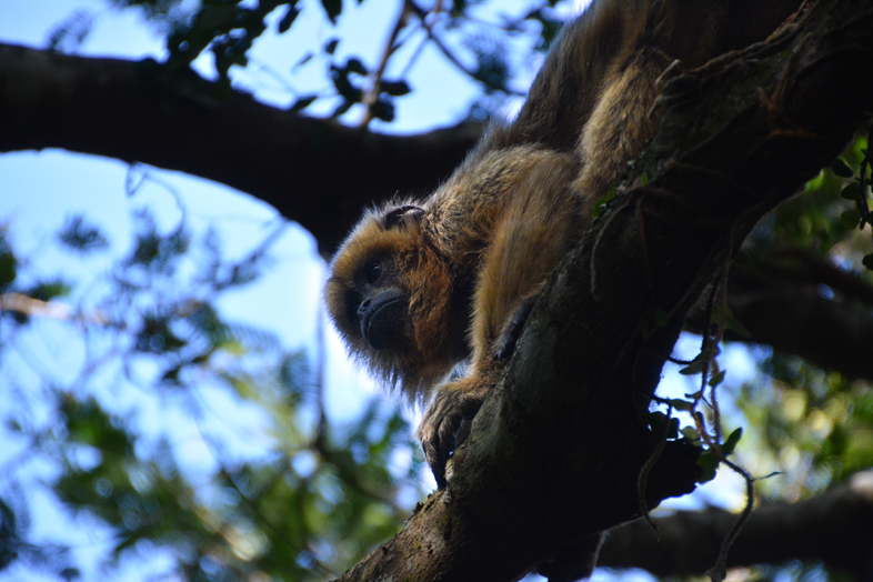 Esteros del Ibera Argentine Carlos Pellegrini singe hurleur mono caraya regard