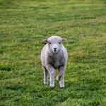 mouton-agneau-estancia-puerto-natales-volontariat