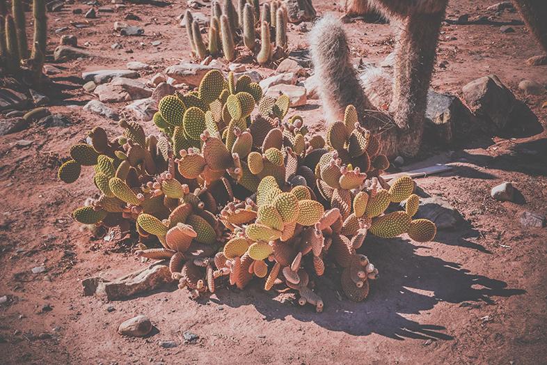 cactus dans le jardin botanique de la pucara de tilcara a jujuy en argentine
