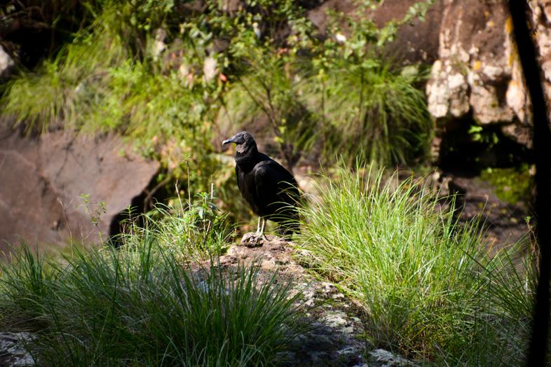 Jote ou vautour noir en français, vu dans les chutes d'Iguazu en Argentine