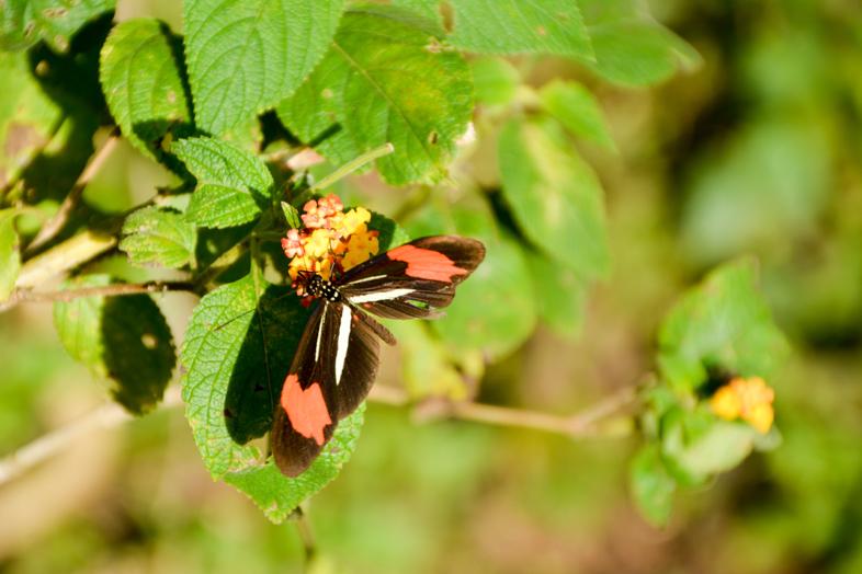 Papillon avec les ailes noires blanches et rouges posé sur des feuilles près d'Iguazu