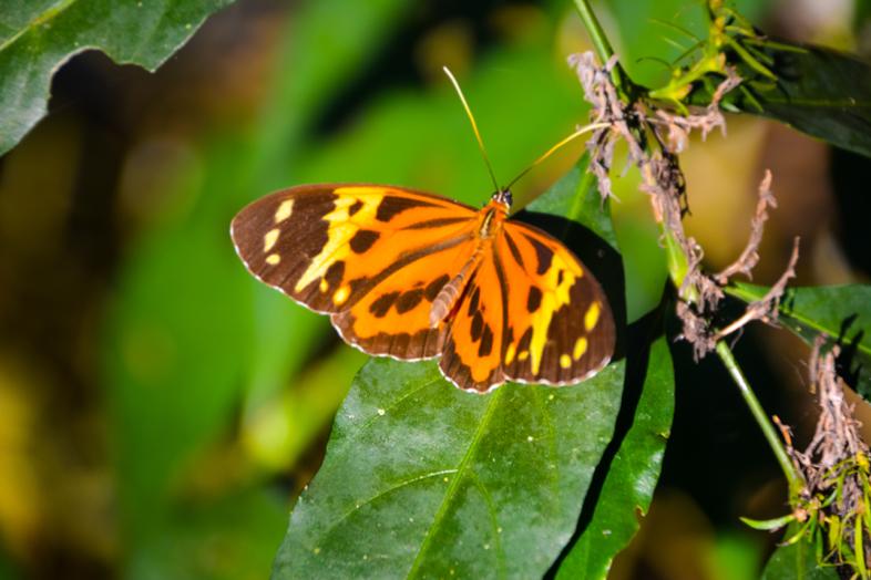 Papillon orange et noir posé sur une feuille près des chutes d'Iguazu