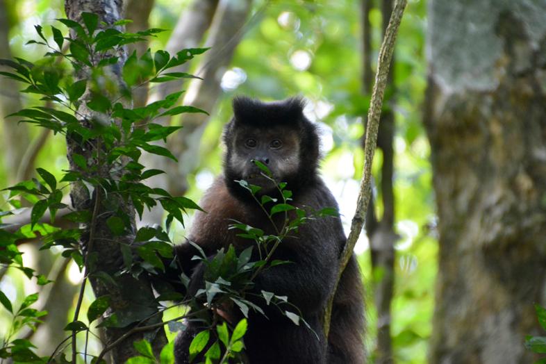Sapajou, singe en liberté près des chutes d'Iguazu en Argentine
