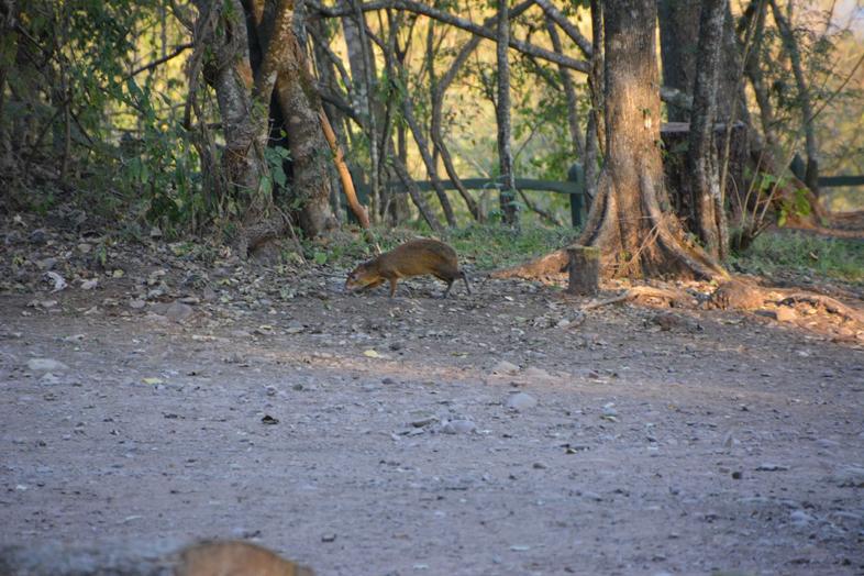 Un acuti dans le parc national Calilegua en Argentine