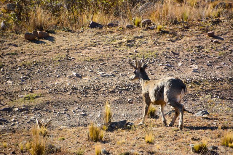 Cerf andin dans la puna près du village de Santa Ana en Argentine