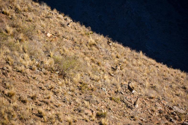 Plusieurs cerfs andins dans la puna près du village de Santa Ana en Argentine