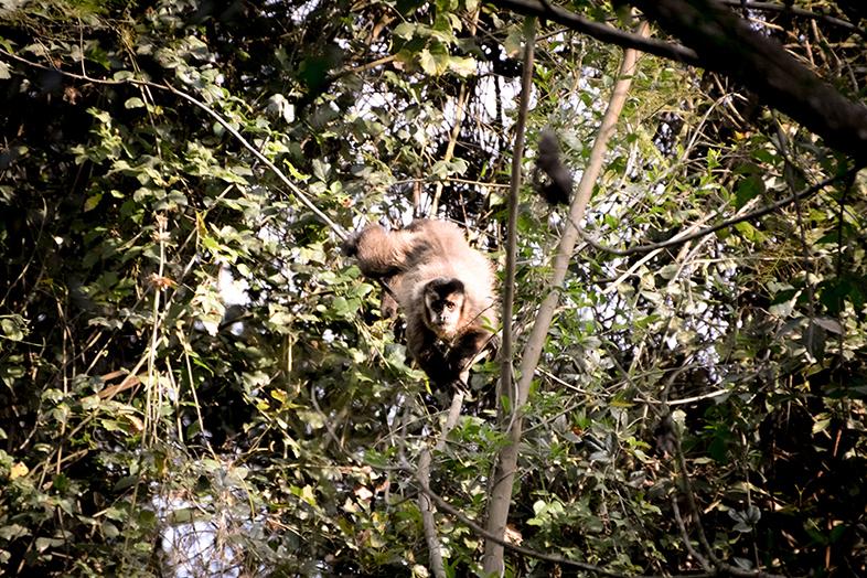 Un singe capucin dans un arbre du parc national Calilegua en Argentine