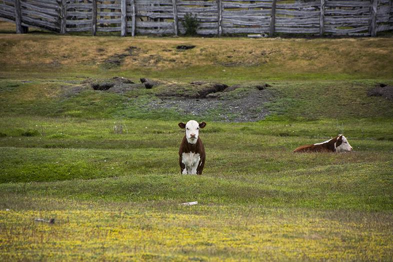 volontariat workaway puerto natales chili patagonie veau petite vache