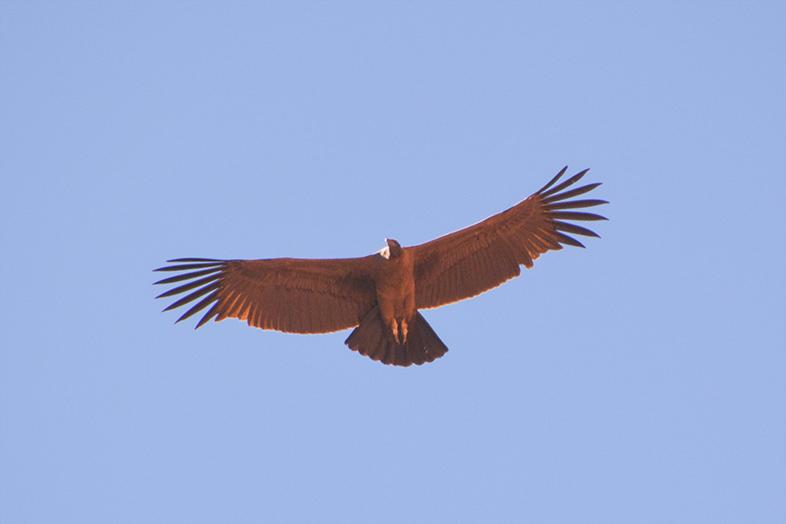 Parc national Talampaya La Rioja jeune condor juvenil animal faune du site