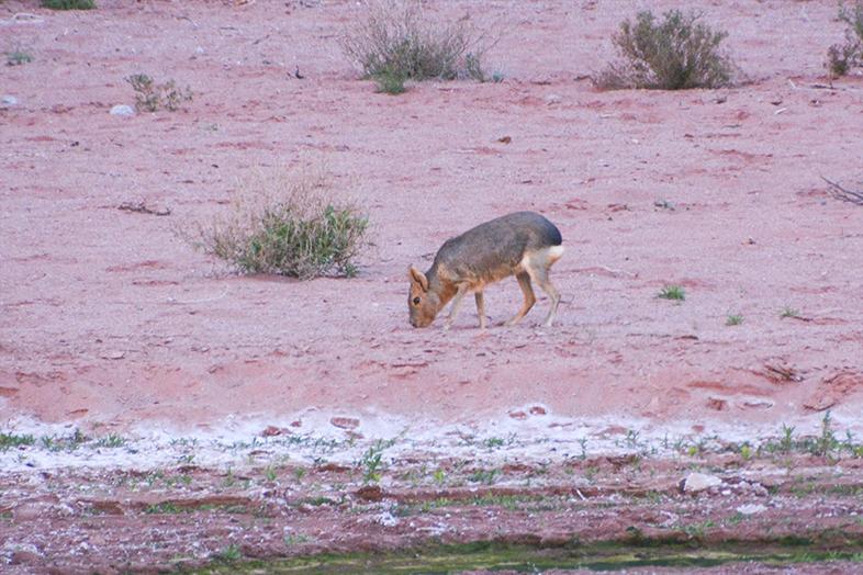 Parc national Talampaya La Rioja mara lievre de patagonie animal faune du site