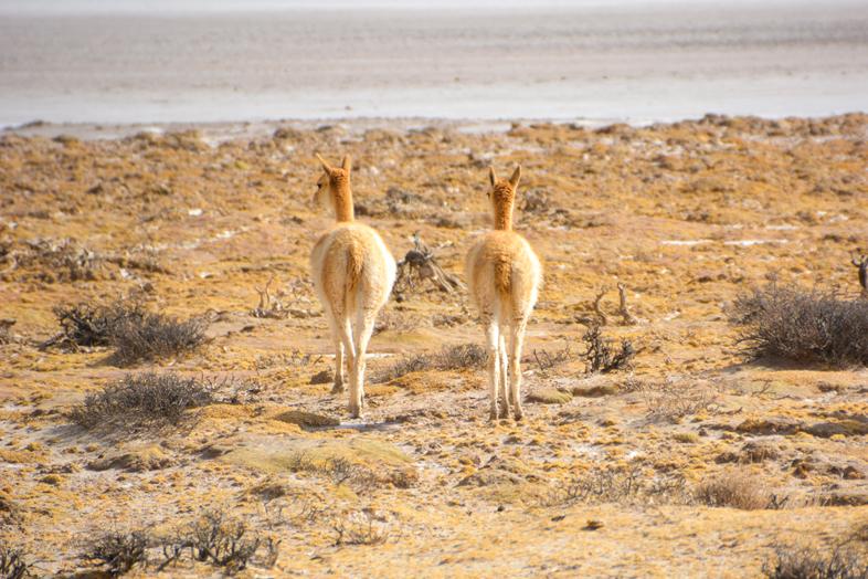 Vigognes qui se promènent à Antofagasta de la Sierra
