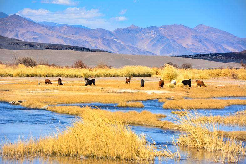 Lamas qui paissent dans les marais d'altitude en Argentine