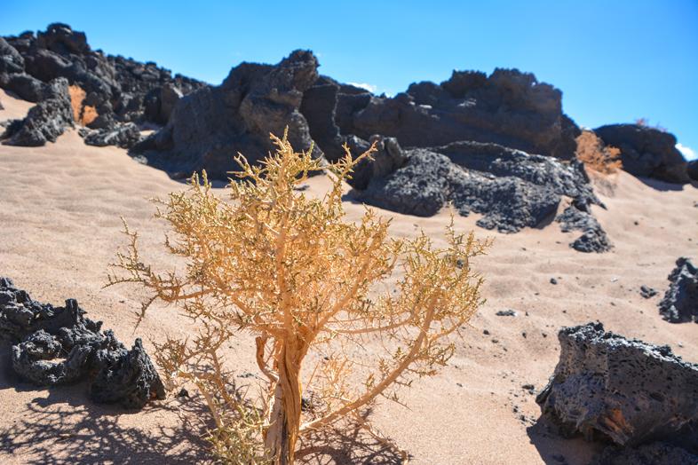 Plante du désert qui pousse entre le sable et la lave en Argentine