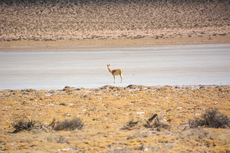 vigogne seule sur un lac asséchée en Argentine