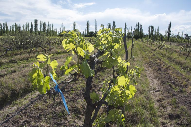Wwoofing volontariat San Rafael Mendoza Argentine viticole plant de vigne attache