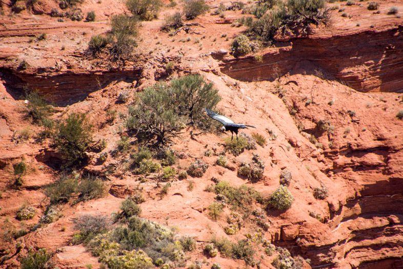 Parc-National-Sierra-de-las-Quijadas-province-de-San-Luis-Argentine-condor-des-andes-dans-le-canyon