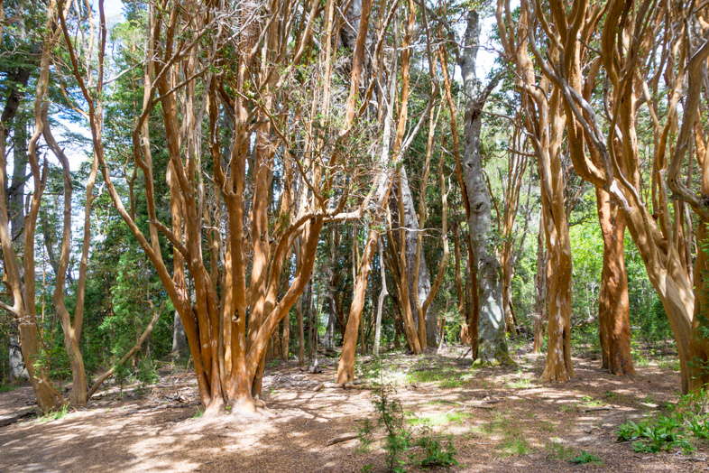 bosque arrayanes villa la angostura parc national argentine foret arrayan
