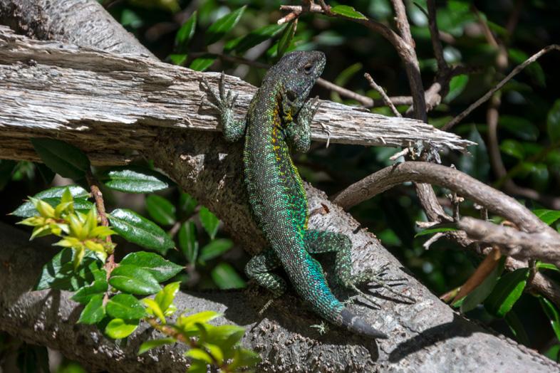 Lézard vert et bleu dans le parc national Lanin en Argentine