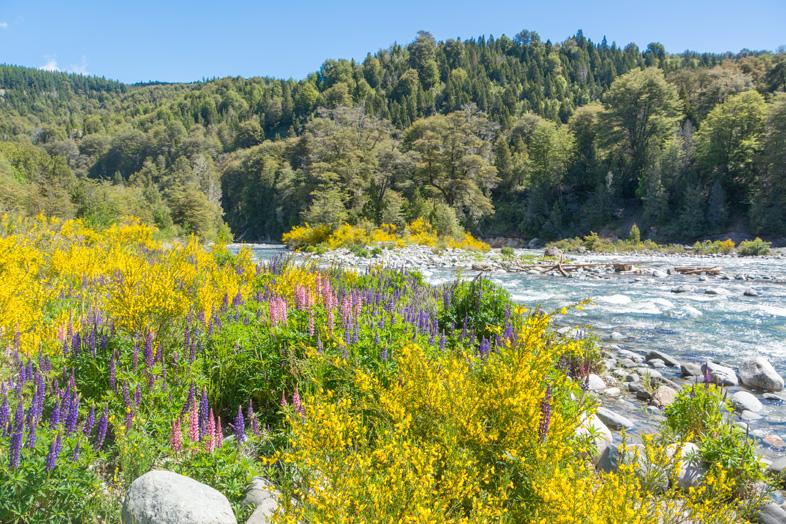 lupin-fleurs-riviere-cajon-del-azul-el-bolson-randonne-trekking-argentine