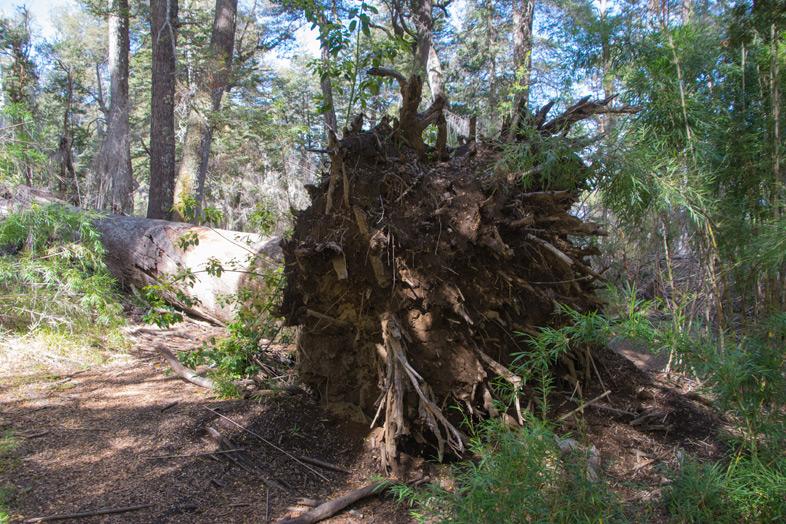 parque-llao-llao-bariloche-randonnee-trekking-argentine-arbre-couche