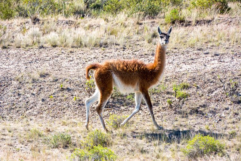 peninsule valdes argentine animaux faune guanaco