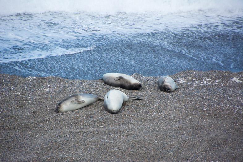 peninsule valdes argentine animaux faune lions de mer