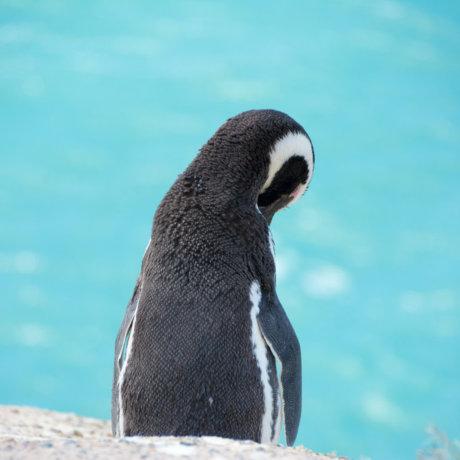 peninsule valdes argentine animaux faune pingouin manchot postshow