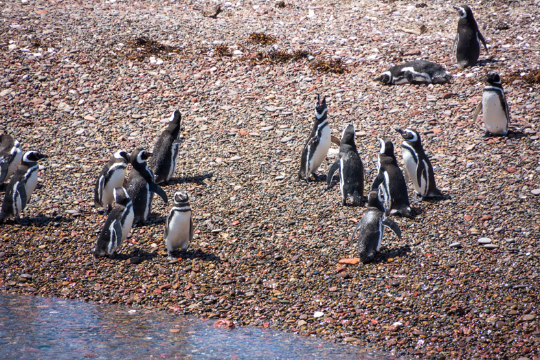 punta tombo manchots pingouins groupe argentine