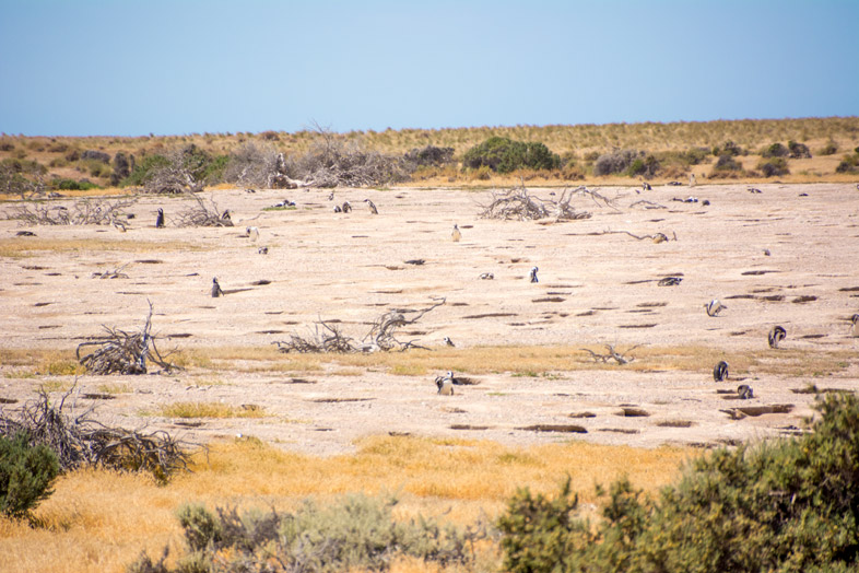 punta tombo manchots pingouins nids argentine