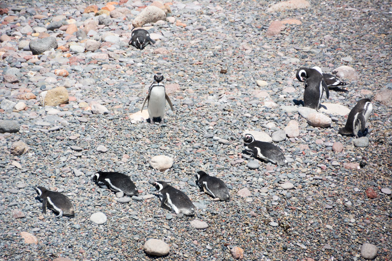 punta tombo manchots pingouins seance repose au soleil argentine