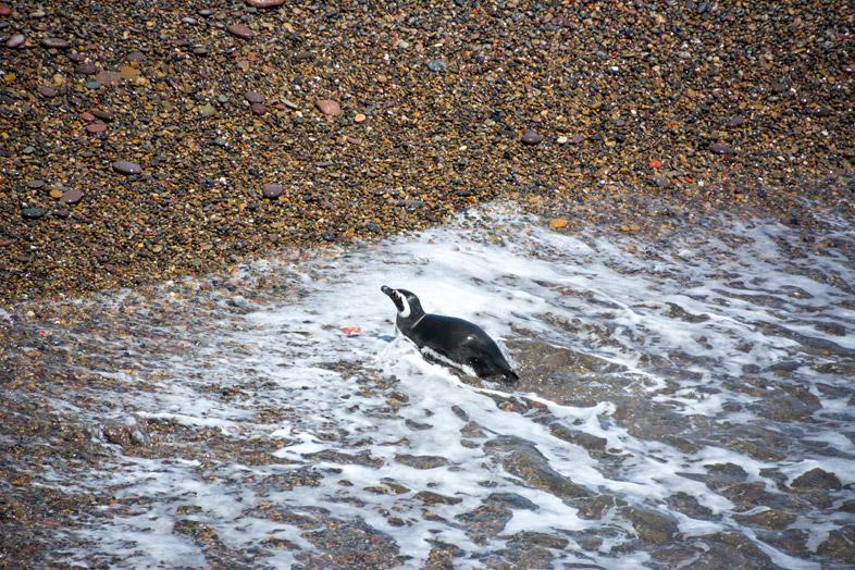 punta tombo manchots pingouins sort de l eau argentine