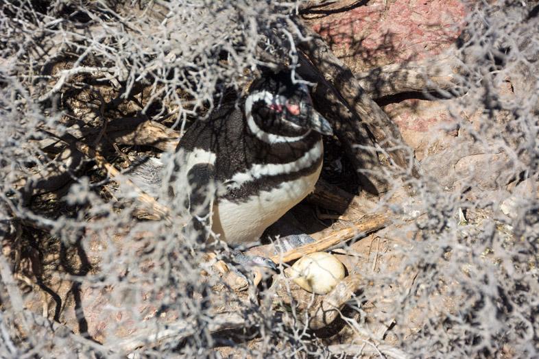 punta tombo oeuf de manchots pingouins argentine