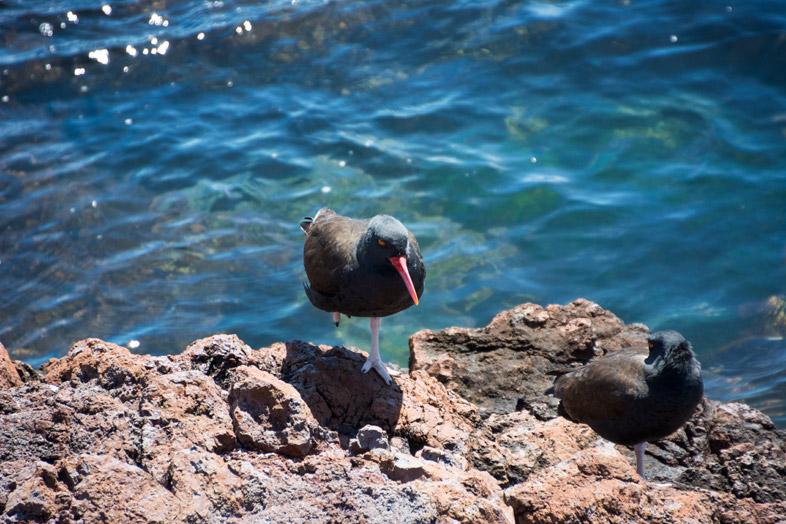 punta tombo oiseaux noir fregates argentine