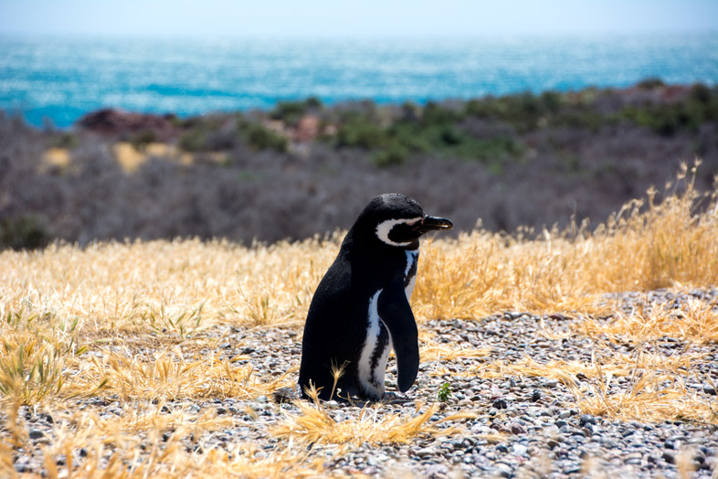 punta tombo pingouins manchots solitaire argentine.jpg